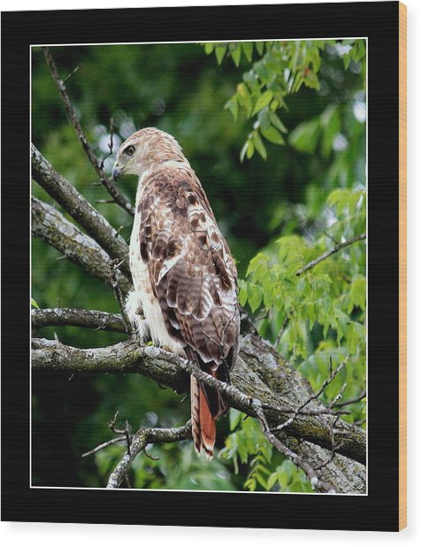 Red Tail Hawk 1 Wood Print by Rosanne Jordan