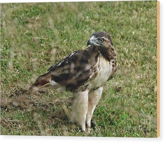 Red Tail Hawk Wood Print by Christy Ricafrente