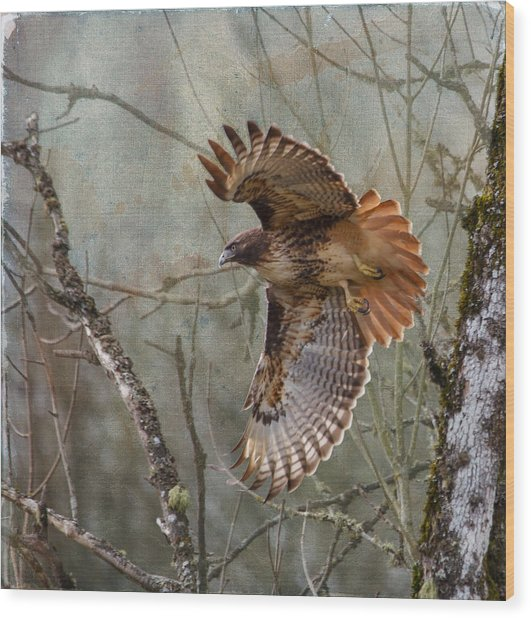 Red-tail Hawk In Flight Wood Print