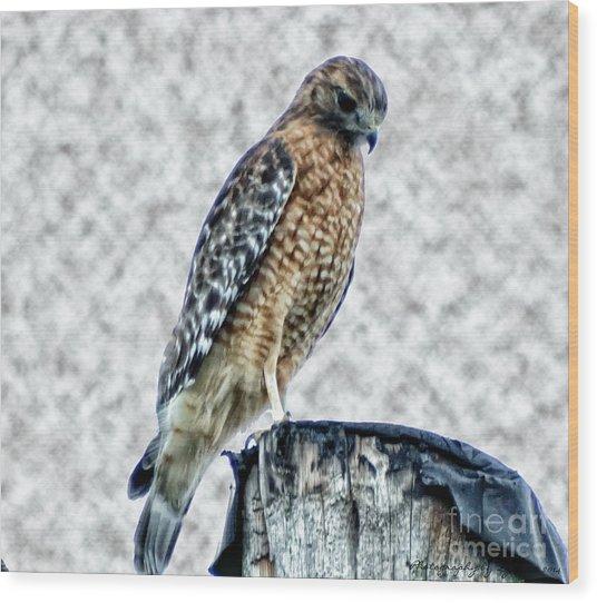 Red Tail Hawk Looking Down Wood Print