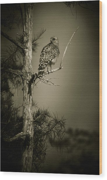 Red Tail Hawk On Loop Road Wood Print