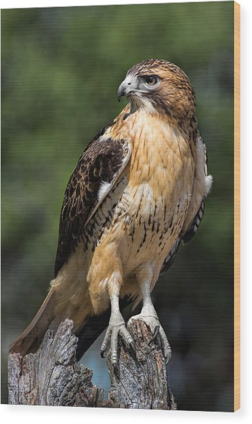 Red Tail Hawk Portrait Wood Print
