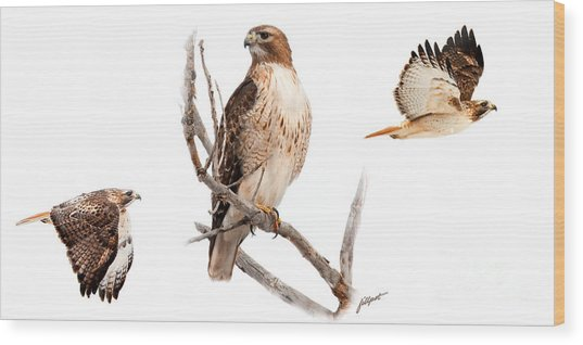 Red Tail Hawk Series Wood Print