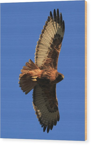 Red Tail II Wood Print