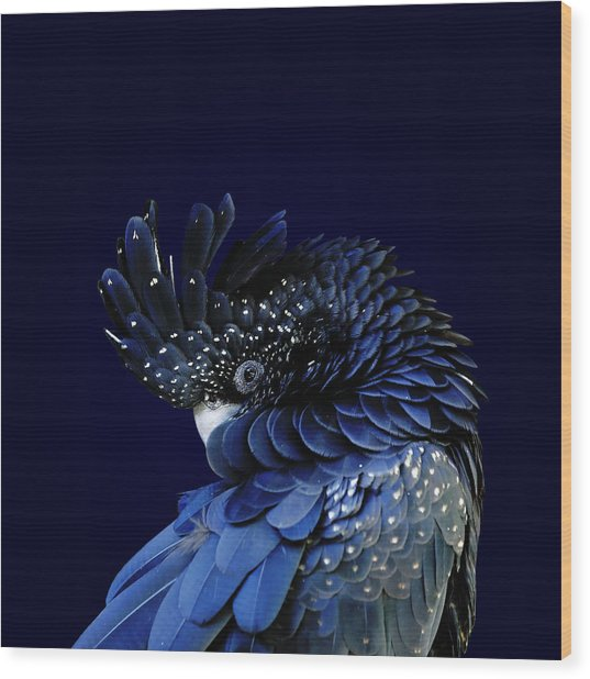Red-tailed Black Cockatoo Wood Print by © Debi Dalio