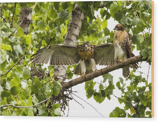 Red-tailed Fledges Wood Print by Jill Bell