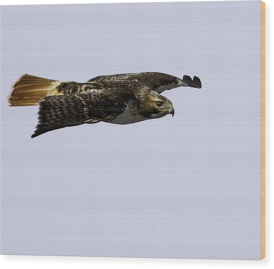 Red-tailed Hawk In Flight 2 Wood Print