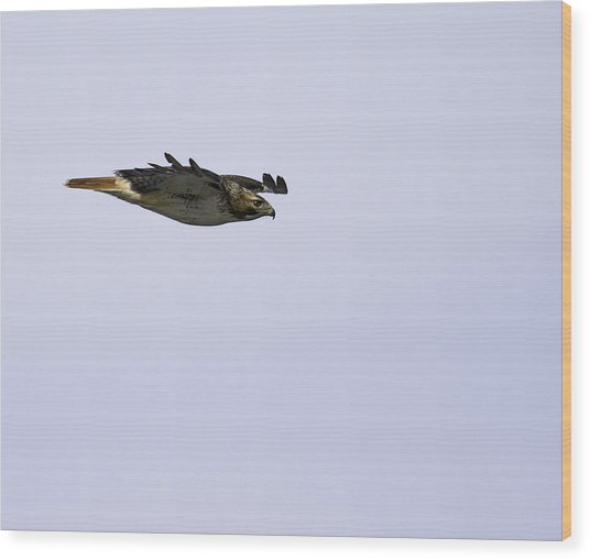 Red-tailed Hawk In Flight 3 Wood Print
