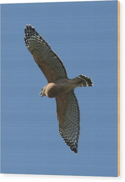 Red Tailed Hawk Wood Print by Jeff Wright