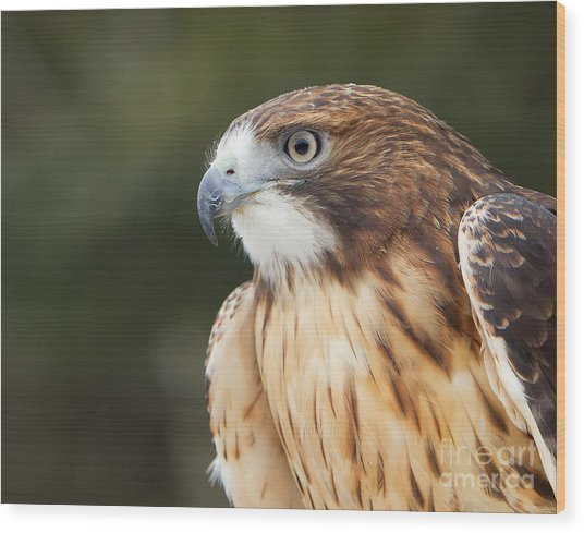 Red Tailed Hawk  Wood Print by Joshua Clark
