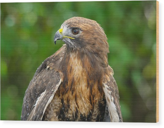 Red-tailed Hawk Close-up Wood Print