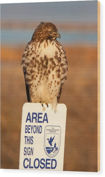 Red Tailed Hawk Lower Klamath National Wildlife Refuge Northern California Wood Print