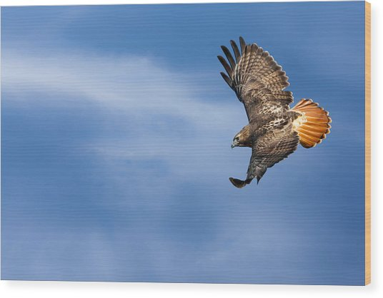 Red Tailed Hawk Soaring Wood Print