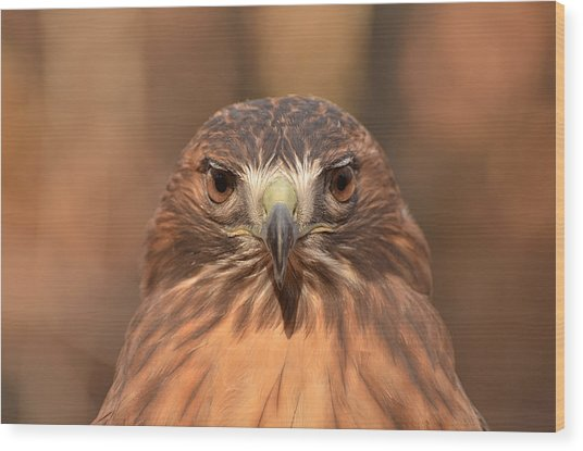 Red-tailed Hawk Stare Wood Print