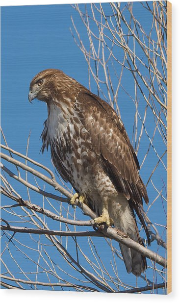 Red-tailed Hawk Watching The Ducks Wood Print