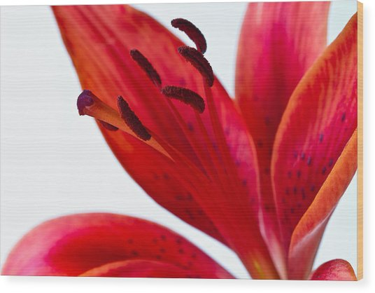 Red Tiger Lily Wood Print