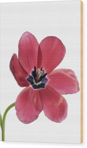 Red Transparent Tulip Wood Print