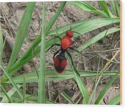 Red Velvet Ant Wood Print