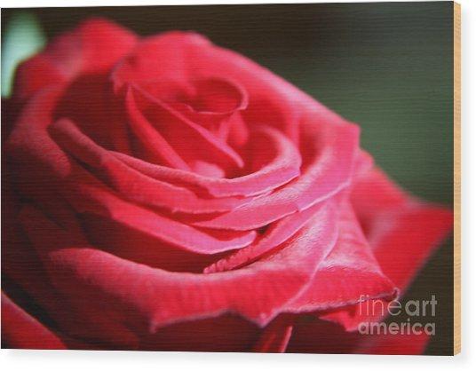 Red Velvet Rose By Morning Light  Wood Print