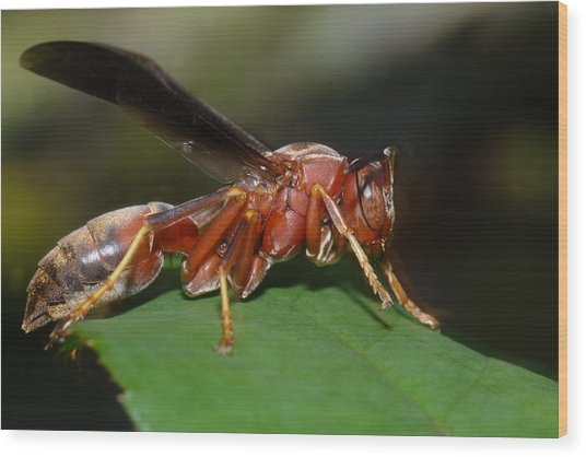 Wood Print featuring the photograph Red Wasp by Daniel Reed