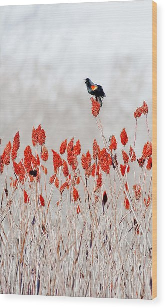 Red Winged Blackbird On Sumac Wood Print