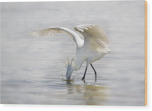 Reddish Egret White Morph Fishing. Wood Print