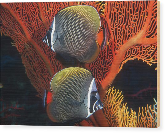 Redtail Butterflyfish Wood Print by Greg Ochocki
