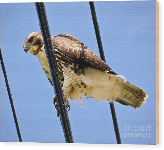 Redtailed Hawk Wood Print