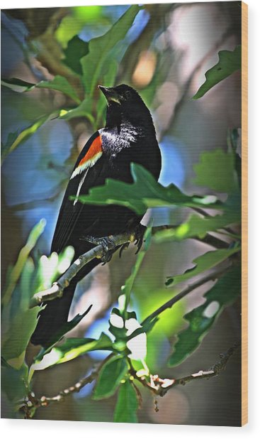Redwing Blackbird On Alert Wood Print