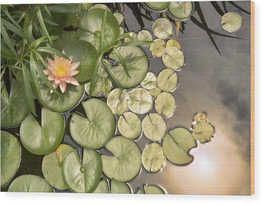 Reflected Light Upon Flowering Water Lilies Wood Print