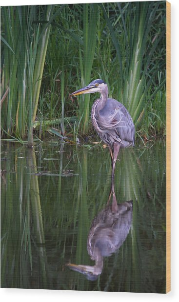 Reflections - Great Blue Heron  Wood Print by Doug Underwood