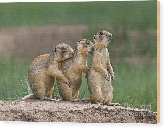 Wood Print featuring the photograph Relaxing Utah Prairie Dogs Cynomys Parvidens Wild Utah by Dave Welling