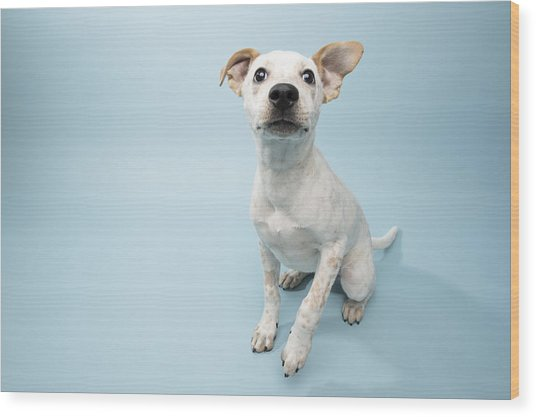 Rescue Animal - Cattle Dog Mix Puppy Wood Print by Amandafoundation.org