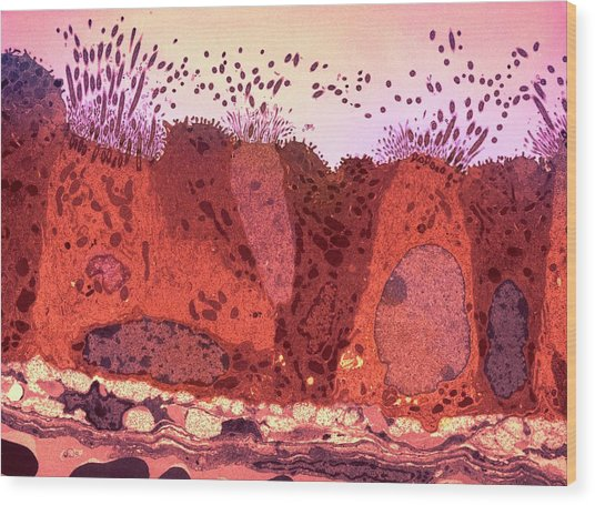 Respiratory Epithelium Wood Print by Ami Images