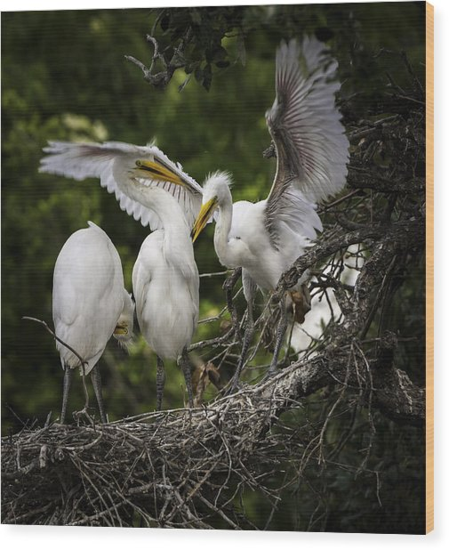 Restless Teenage Egrets Wood Print