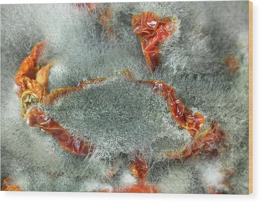 Rhizopus Stolonifer On Sundried Tomatoes Wood Print by Dr Jeremy Burgess