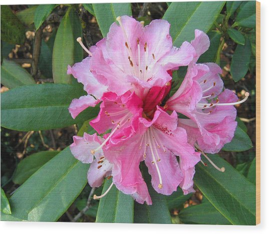 Rhododendron 3 Wood Print