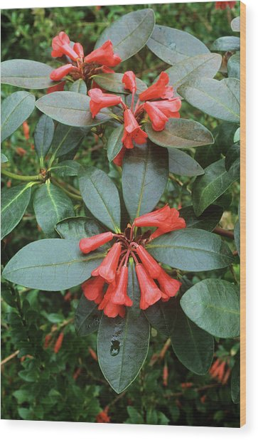 Rhododendron Atlanticum Flowers Wood Print by Alan Punton Esq/science Photo Library