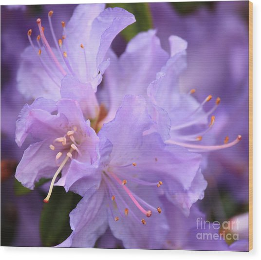 Rhododendron Flower Wood Print