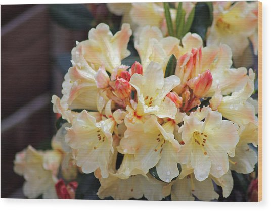 Rhododendron Nancy Evans Wood Print