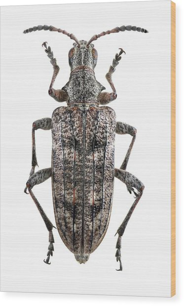 Ribbed Pine Borer Beetle Wood Print by F. Martinez Clavel