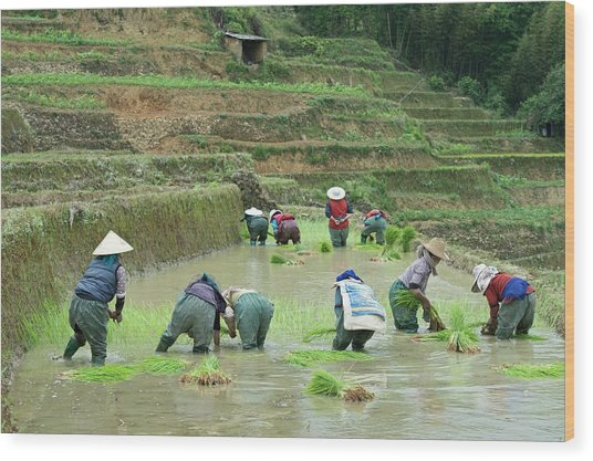 Rice Cultivation In Yunnan Province Wood Print