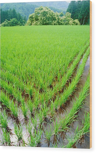 Rice Paddy Wood Print
