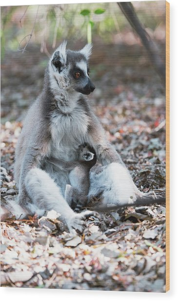 Ring-tailed Lemur And Baby Wood Print by Dr P. Marazzi