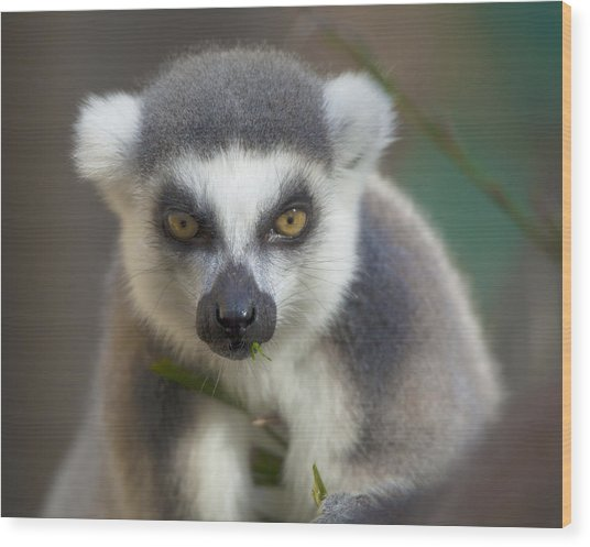 Ring Tailed Lemur Wood Print