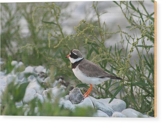 Ringed Plover On Rocky Shore Wood Print