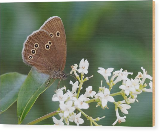 Ringlet Butterfly Wood Print