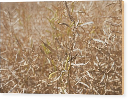 Ripe Rapeseed Crop Wood Print by Lewis Houghton/science Photo Library
