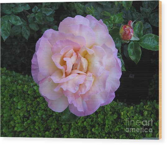 Ritzy Pink Rose Wood Print