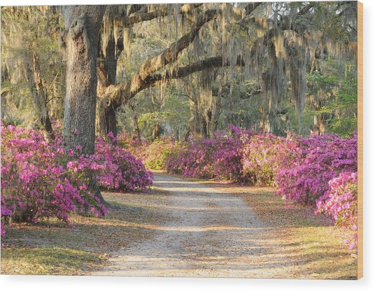 Road With Live Oaks And Azaleas Wood Print